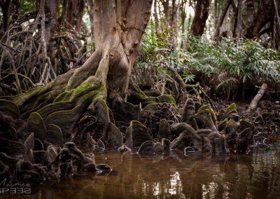 Mangrove tree, Borneo