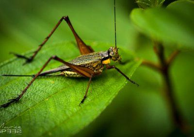 Kalimantan Grashopper, Borneo
