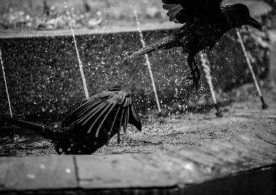 Crows rising