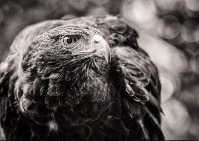 Hawk vision
