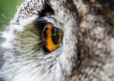 Owl's eyeball