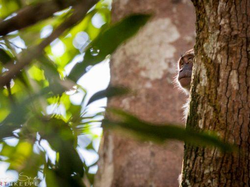 Borneo series: Divine Monkey