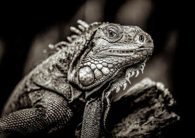 Dragon hypnosis