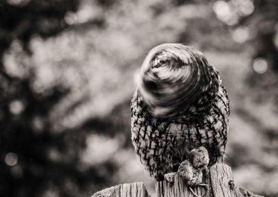 Owl twisting head