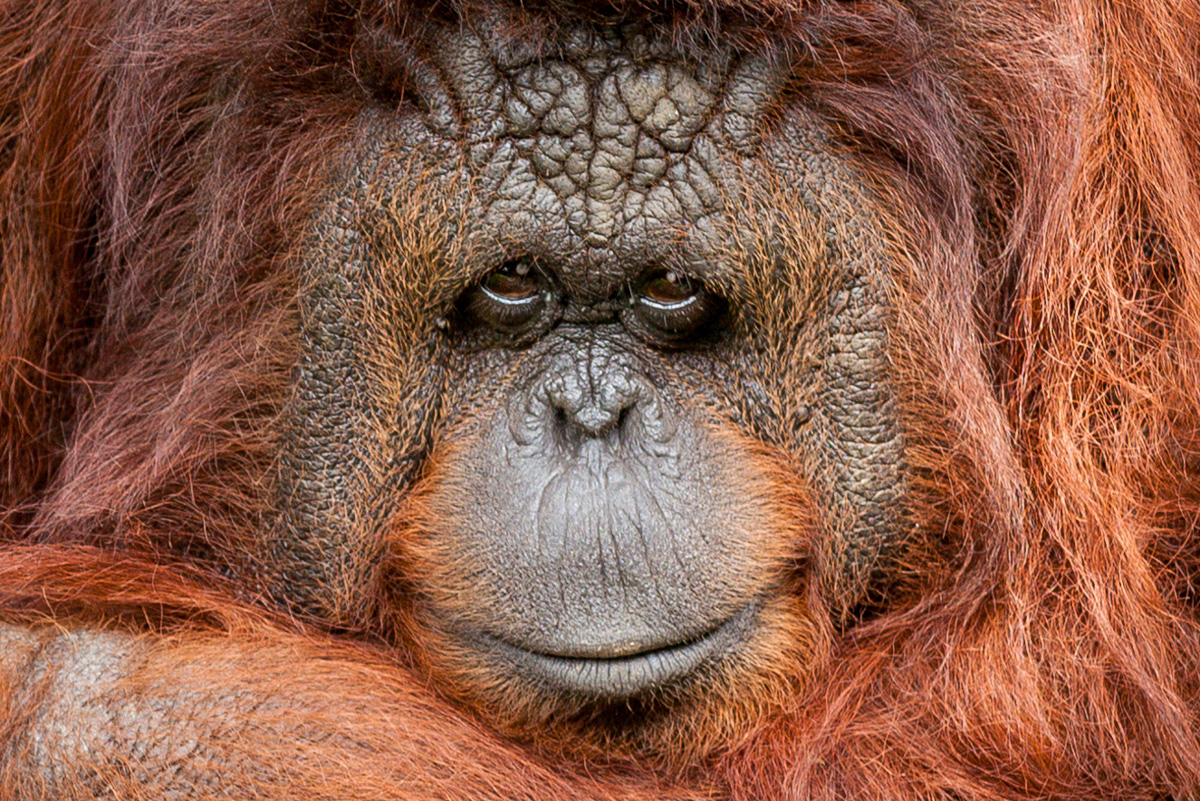 Orangutan inviting home