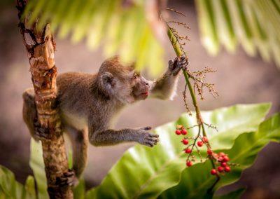 Berry monkey, Borneo