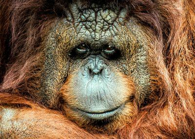 Urangatan Borneo face