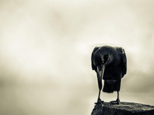 Humble crow