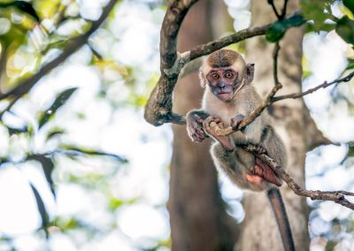 Curious monkey, Borneo