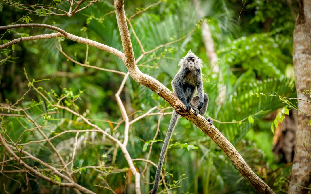 'Borneo series: Curious Silver leaf monkey' by Maurice Spees on Digigraphie® fine art