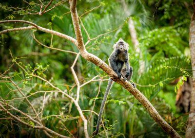 Silver leaf monkey, Borneo