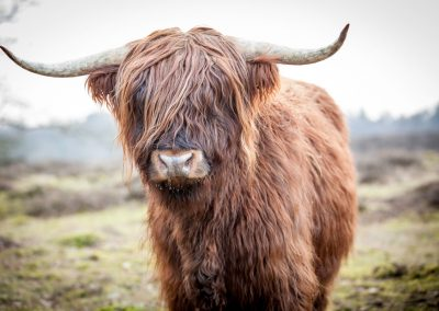 Scottish Highland, Nederland