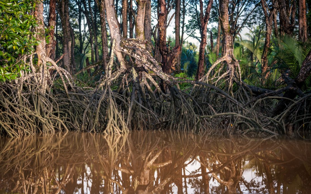 Borneo series: Mangrove