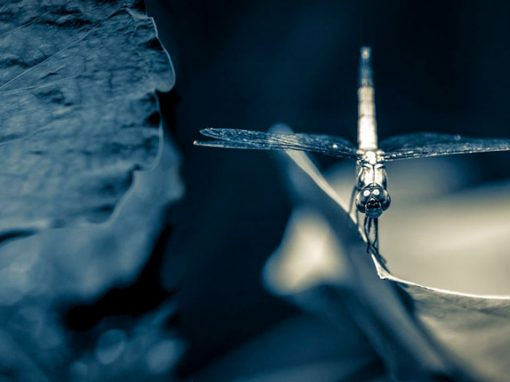 Dragonfly Lotusleaf